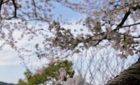 篠栗町 カブトの森公園の桜